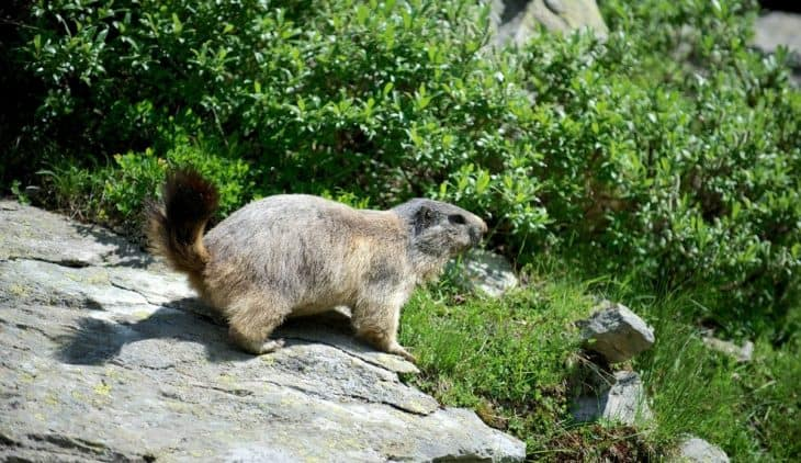 Effective Ways Of How To Get Rid Of Groundhogs