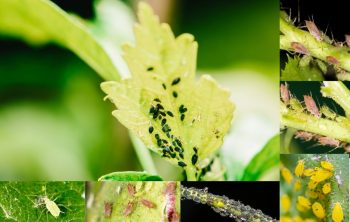 How to Get Rid of Aphids- Best Natural Methods