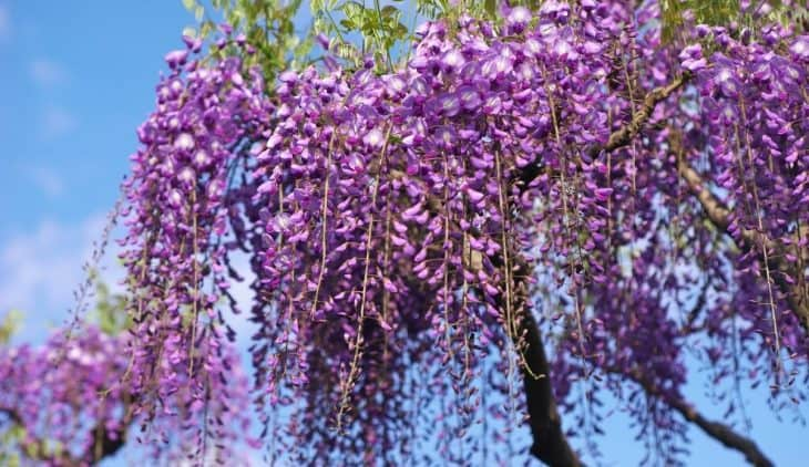 How to Get Rid of Wisteria Roots from your Yard