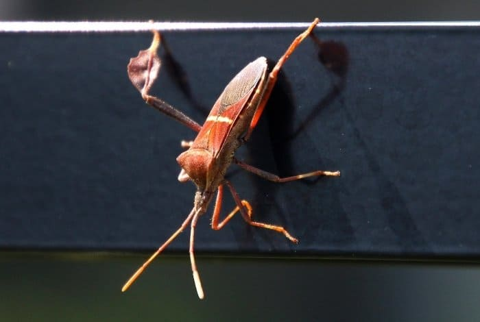 Leaf Footed Bugs are No Harmful to Humans
