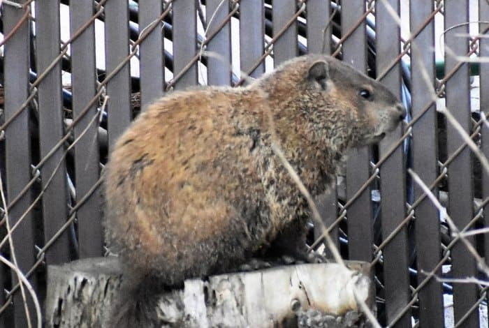 Natural Methods To Get Rid of Groundhogs - Fencing
