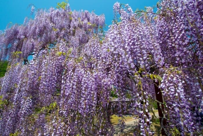 So What Is Wisteria