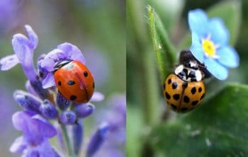 The Differences between ladybug vs Asian beetle