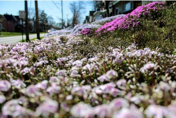 Get to Know How Long Creeping Phlox Bloom
