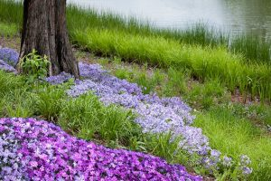 How Long Does Creeping Phlox Bloom