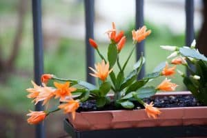 Types Of Christmas Cactus