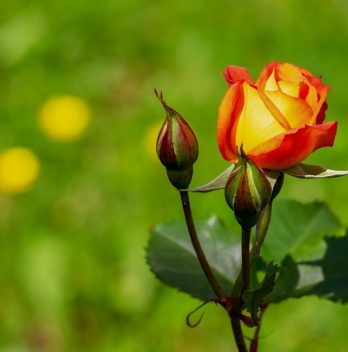 When Is The Best Time To Transplant Roses