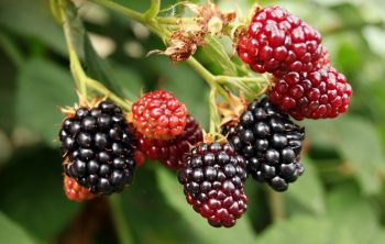 When To Plant Blackberry Bush