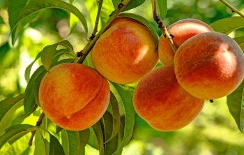 When do Peach Trees Bear Fruit