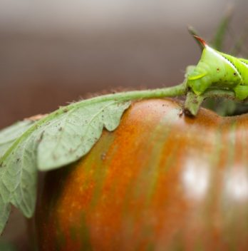 Where Does Tomato Hornworm Come From