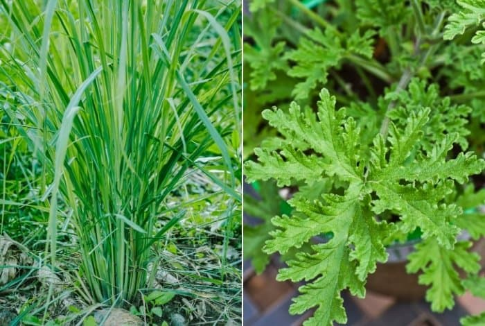 Citronella Differences