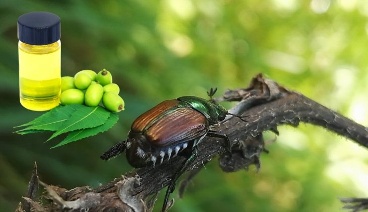 Does Neem Oil Kill Japanese Beetles