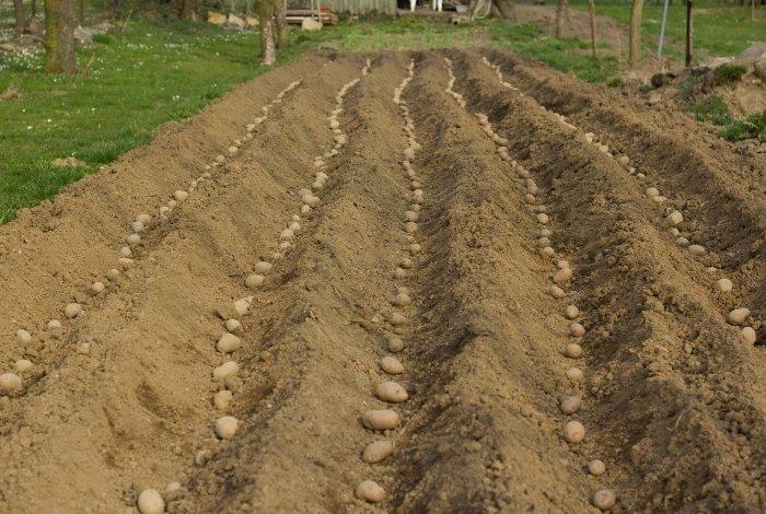 How Do you Measure How Far Apart to Plant Potatoes