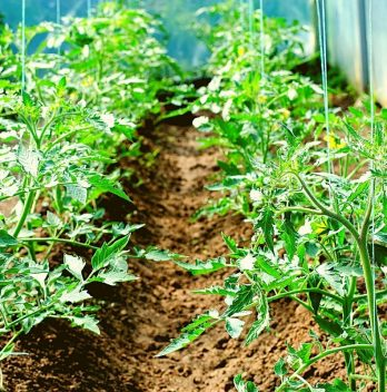 How Far Apart to Plant Tomatoes – A Clear Guide