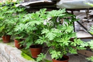 How to Care for Citronella Plant