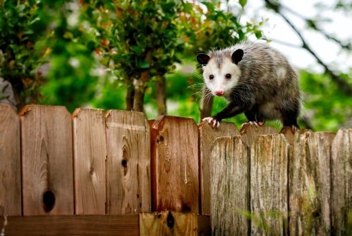 How to Get Rid of Possum in the Backyard