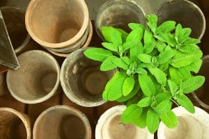 How to Grow Common Sage from Seed