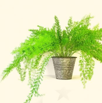 Asparagus Fern Indoor Plant Care – A Complete Guide