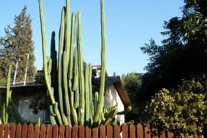 San Pedro Cactus Growth Rate – Important Info