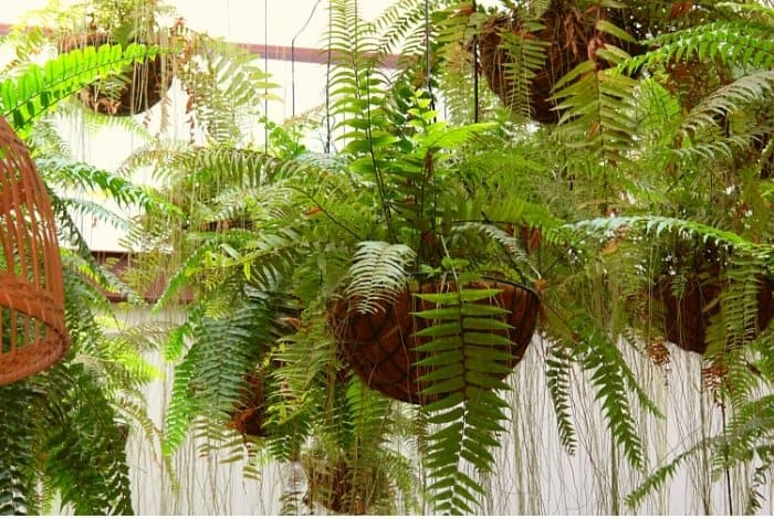 Where Do Ferns in Hanging Baskets Grow Best