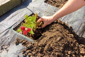 Best Place To Plant Raspberries