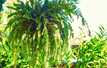 Care of Boston Fern Outdoors - A Guide