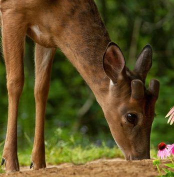 Do deer eat coneflowers - A Gardener's Guide