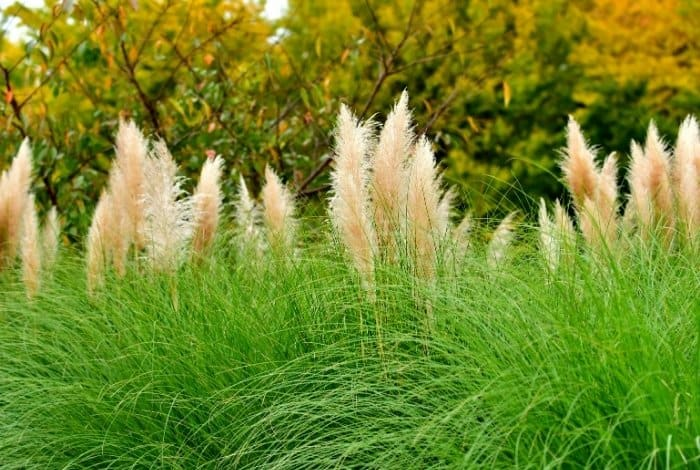 Growing Pampas Grass