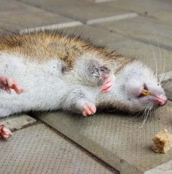 How long does it take for rat poison to work