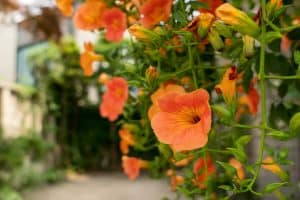 How to Get Rid of Trumpet Vine