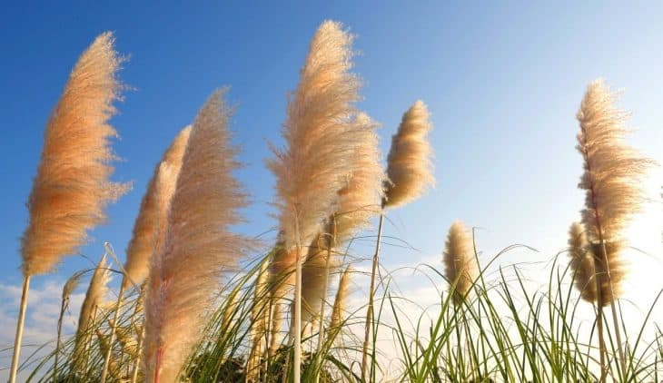 How to get seeds from pampas grass
