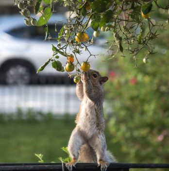 How to keep squirrels from eating tomatoes