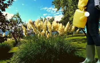 How to maintain pampas grass