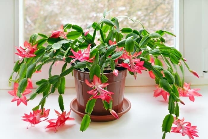 Is Christmas Cactus Poisonous in General