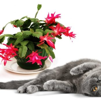 Is Christmas Cactus Poisonous to Cats
