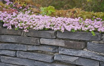 Is creeping thyme invasive or manageable?