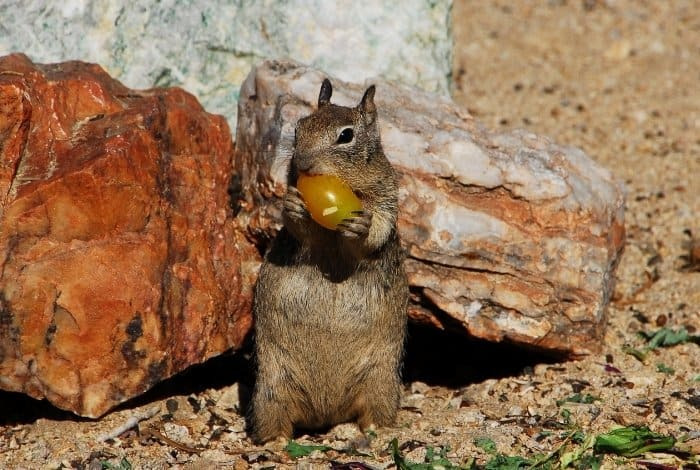 Why Do Squirrels Eat Tomatoes