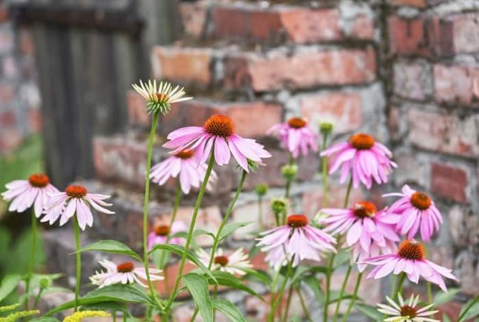 Will Coneflowers Grow Back after Deer Eat Them
