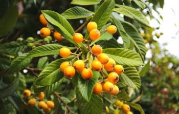 Growing Loquat Trees In Pots – A Complete guide