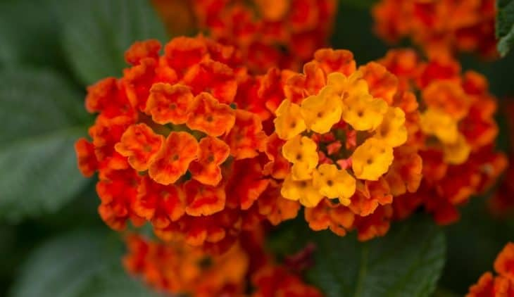 How Much Sun Does Lantana Need