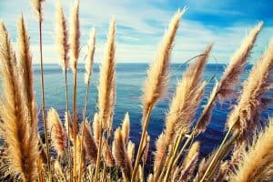 Pampas Grass Growth Rate – A Full Guide