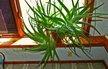 Repotting Aloe Vera With Long Stem - A Quick Guide