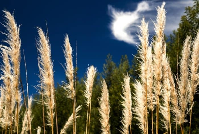 What is the Pampas Grass Growth Rate