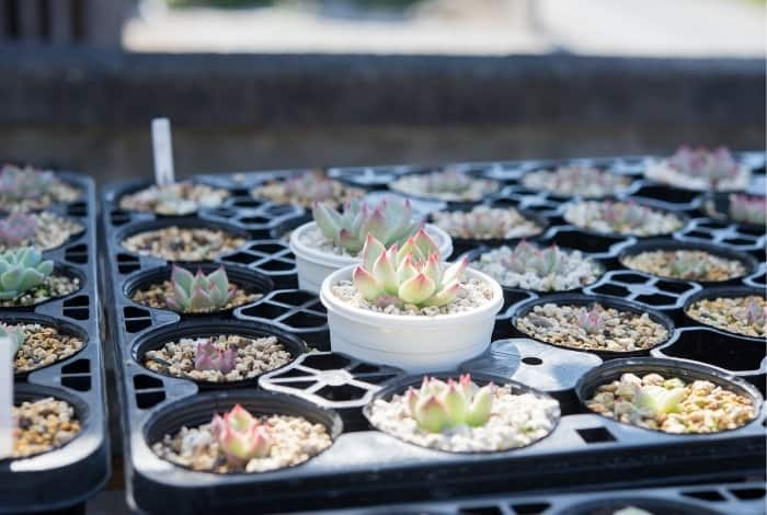 Why Should You Grow Succulents from Seeds