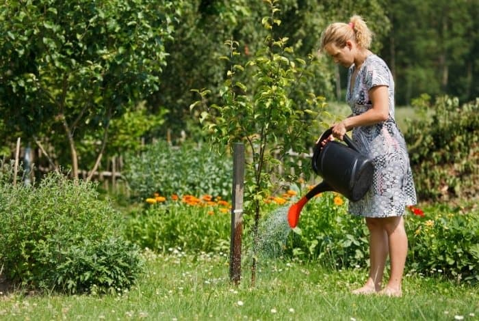 Caring for the Apple Tree in Order to Bear Fruit