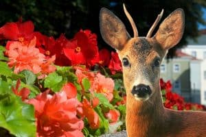 Do Deer Eat Begonias - A General Study