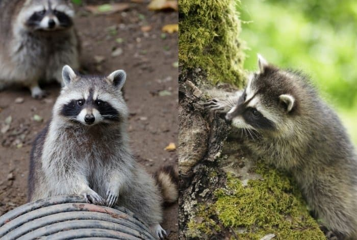 Do Raccoons Hunt For Their Food