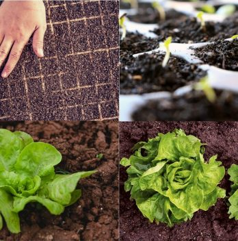 Growing lettuces from seed – Step by Step Guide