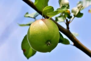 How Long Does It Take For An Apple Tree To Bear Fruit
