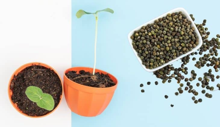 How To Plant Okra Seed – A Step by Step Guide